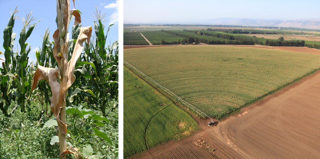 Maize late wilt disease research